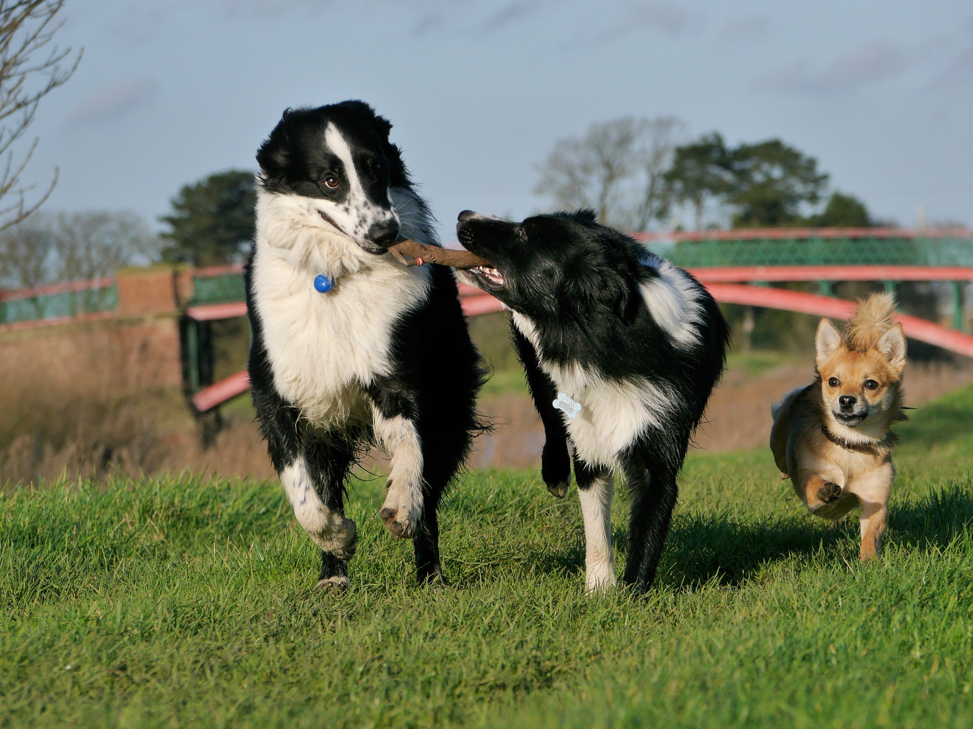 border-collie-1167926_1920